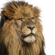 Stock Photo: Close-up of Lion, PantherLeo, 10 years old, isolated on whit