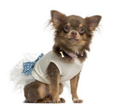 Dressed-up Chihuahua sitting, isolated on white — Stock Photo