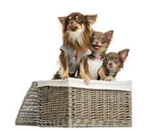 Group of dressed-up Chihuahuas looking away in a wicker basket, — Stockfoto