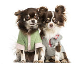Two dressed-up Chihuahuas sitting next together, isolated — Stock Photo