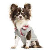 Dressed-up Chihuahua sitting, looking at the camera, isolated on — Stock Photo