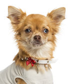 Close-up of a dressed-up Chihuahua, looking at the camera, 1 yea — Stock Photo