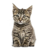 Front view of an European shorthair kitten sitting, 2 months old — Stock Photo