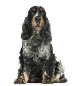 正面的看法的坐着,8 岁的时候,英国可卡犬是 — 图库照片