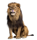 Lion sitting, licking, Panthera Leo, 10 years old, isolated on w — Stock Photo