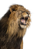 Close-up of a Lion roaring, Panthera Leo, 10 years old, isolated — Stock Photo