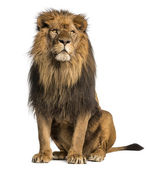 Lion sitting, looking away, Panthera Leo, 10 years old, isolated — Stock Photo