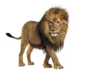Side view of a Lion walking, Panthera Leo, 10 years old, isolate — Stock Photo