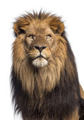Close-up of a Lion looking up, Panthera Leo, 10 years old, isola — Stock Photo