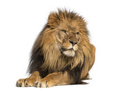 Lion lying down, looking away, Panthera Leo, 10 years old, isola — Stock Photo
