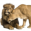 Lion and lioness cuddling, Panthera leo, isolated on white — Stock Photo