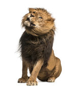Lion sitting, shaking, Panthera Leo, 10 years old, isolated on w — Stock Photo