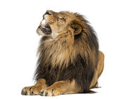Lion lying, roaring, Panthera Leo, 10 years old, isolated on whi — Stock Photo
