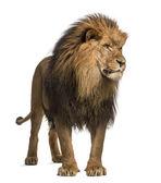 León de pie, mirando, panthera leo, 10 años de edad, aislar — Foto de Stock