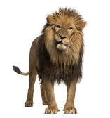 Lion standing, looking at the camera, Panthera Leo, 10 years old — Stock Photo