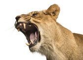 Close-up of a Lioness roaring, Panthera leo, 10 years old, isola — Stock Photo