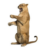 Lioness roaring, sitting on hind legs, Panthera leo, 10 years old — Stock Photo