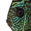 Stock Photo: Close-up of Blue snakeskin discus' head, Symphysodon aequifasc