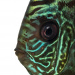 Close-up of Blue snakeskin discus' head, Symphysodon aequifasc — Stock Photo #41973119