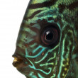 Close-up of Blue snakeskin discus' head, Symphysodon aequifasc — Stock Photo #41973133