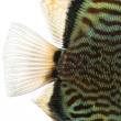 Stock Photo: Close-up of Blue snakeskin discus' caudal fin, Symphysodon aeq