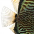 Close-up of Blue snakeskin discus' caudal fin, Symphysodon aeq — Stock Photo #41973155