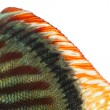 Stock Photo: Close-up of Blue snakeskin discus' dorsal fin, Symphysodon aeq