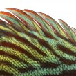 Close-up of Blue snakeskin discus' dorsal fin, Symphysodon aeq — Stock Photo #41973185