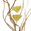 Stock Photo: Clouded Sulphur butterflies landed on branches, Colias philodice