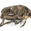 Side view of a dead Green rose chafer, Cetonia aurata, isolated — Stock Photo #41974083
