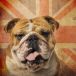 Close-up of an English Bulldog panting on a vintage UK flag back — Stock Photo #41975767