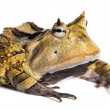 Stock Photo: Argentine Horned Frog, Ceratophrys ornata, isolated on white