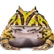 Stock Photo: Front view of Argentine Horned Frog, Ceratophrys ornata, isol
