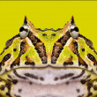 Stock Photo: Close-up of Argentine Horned Frog facing, Ceratophrys ornat