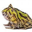 Stock Photo: Side view of Argentine Horned Frog, Ceratophrys ornata, isola