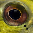 Close-up of fresh water aquarium fish's eye — Stock Photo #41977775