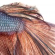 Stock Photo: Close-up of Siamese fighting fish's caudal fin, Bettsplenden