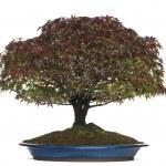Acer palmatum Kiyohime bonsai tree, isolated on white — Stock Photo #41978701
