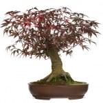 Japanese Maple bonsai tree, Acer palmatum, isolated on white — Stock Photo #41978733