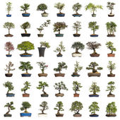 Collection of bonsai trees, isolated on white — Stock Photo