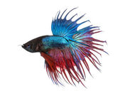 Side view of a Siamese fighting fish, Betta splendens, isolated  — Stock Photo