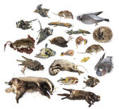 Composition of dead animals in state of decomposition, isolated  — Stock Photo