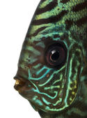 Close-up of a Blue snakeskin discus' head, Symphysodon aequifasc — Stock Photo