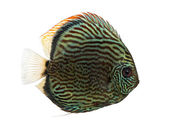 Side view of a Blue snakeskin discus, Symphysodon aequifasciatus — Stock Photo