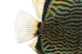 Close-up of a Blue snakeskin discus' caudal fin, Symphysodon aeq — Stock Photo