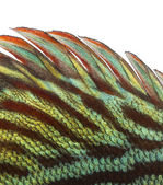 Close-up of a Blue snakeskin discus' dorsal fin, Symphysodon aeq — Stock Photo