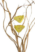 Clouded Sulphur butterflies landed on branches, Colias philodice — Stock Photo