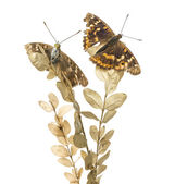Old Lesser Purple Emperor butterflies on a plant, Apatura ilia,  — Stock Photo