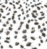 Close-up of a group of dead flies, isolated on white — Stock Photo