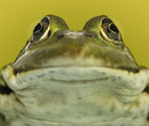 Close-up of a frog facing, on a green background — Stock Photo